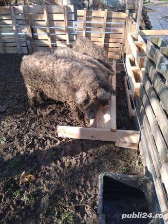 Afacere porci mangalița