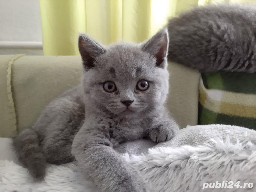 Pisica British Shorthair blu de8-10 săptămâni