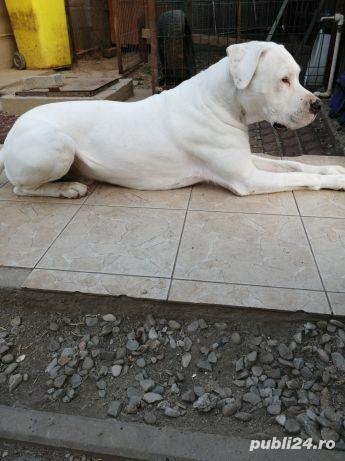 Dog argentinian pt monta