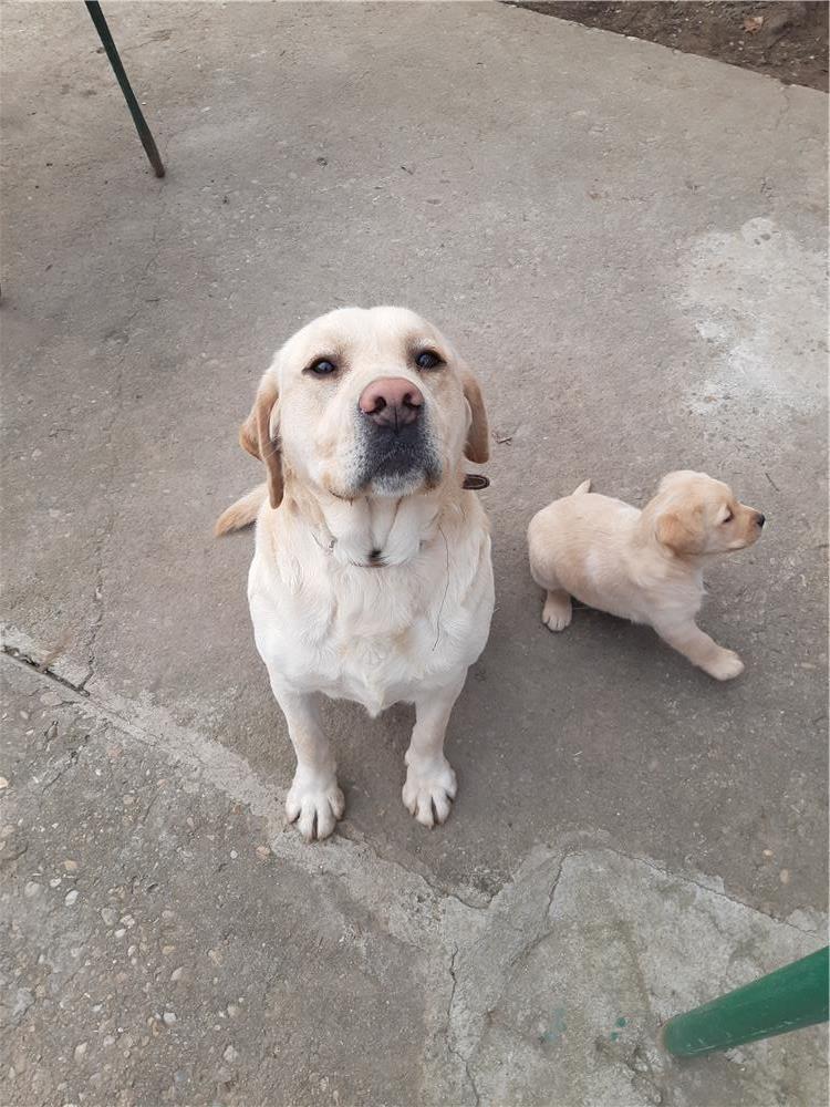 Ofer Labrador auriu pentru monta
