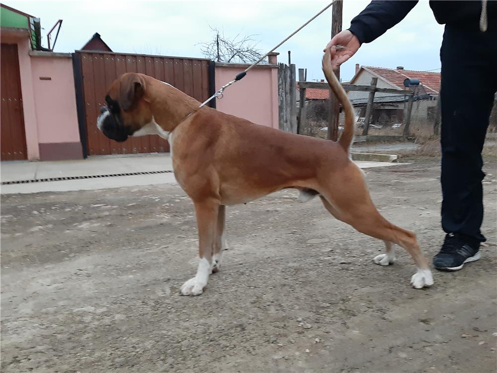 Boxer cu pedigree  pentru monta