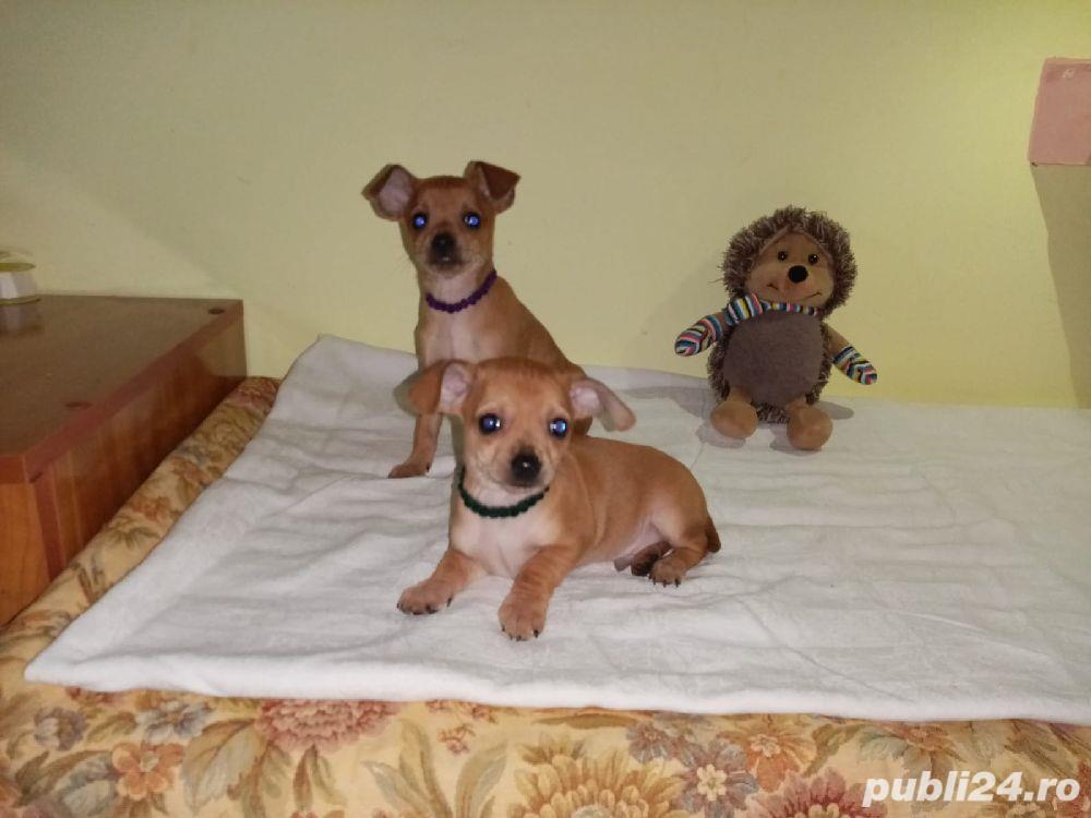 Pinscher pitic