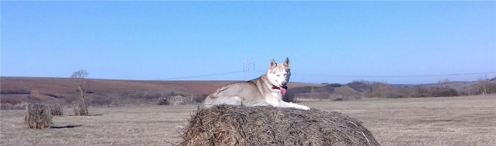 Ofer spre adopție femelă husky
