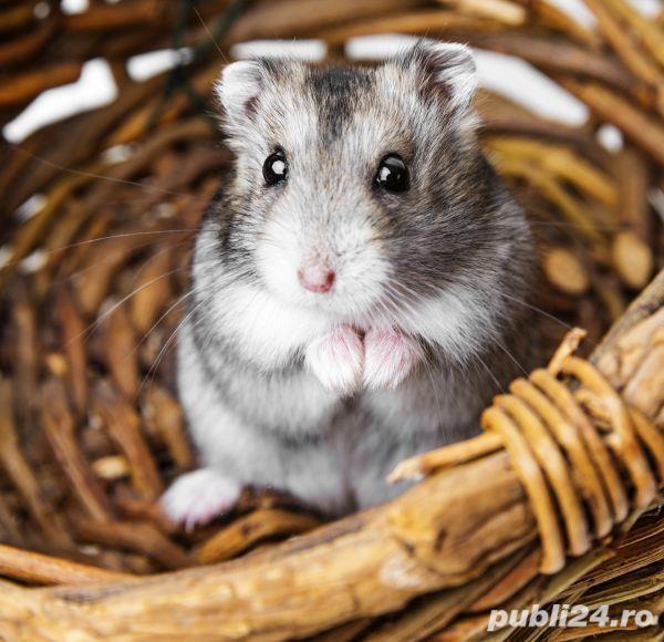 Pui hamster pitic