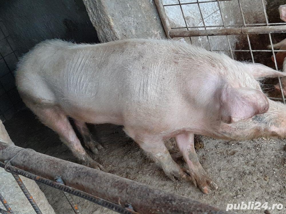 vand vier de rasa..porc