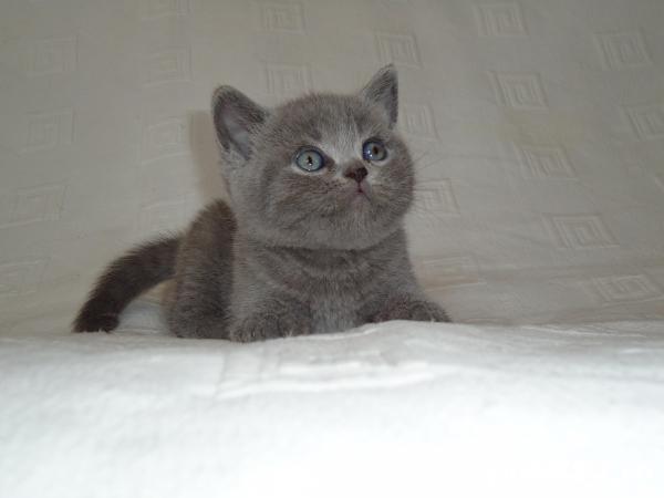 van pui british shorthair blue fetite si baietei