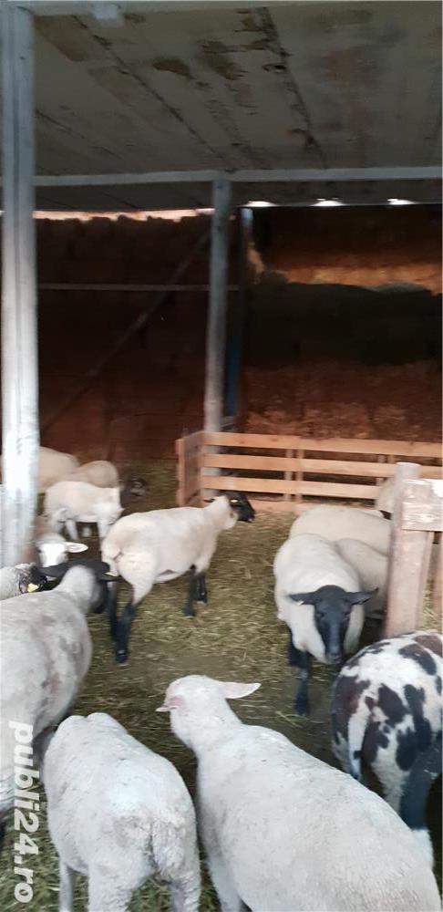 Oi de carne Suffolk,Hamshire,Cap Negru German, Camerun