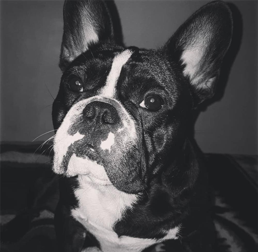 Bulldog francez pentru montă