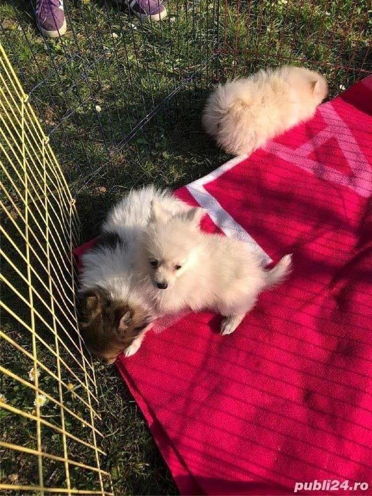 Pomeranian Talie Mica/Tip Boo