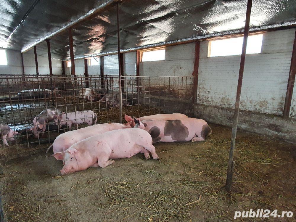 Porci de vanzare 100-140kg!