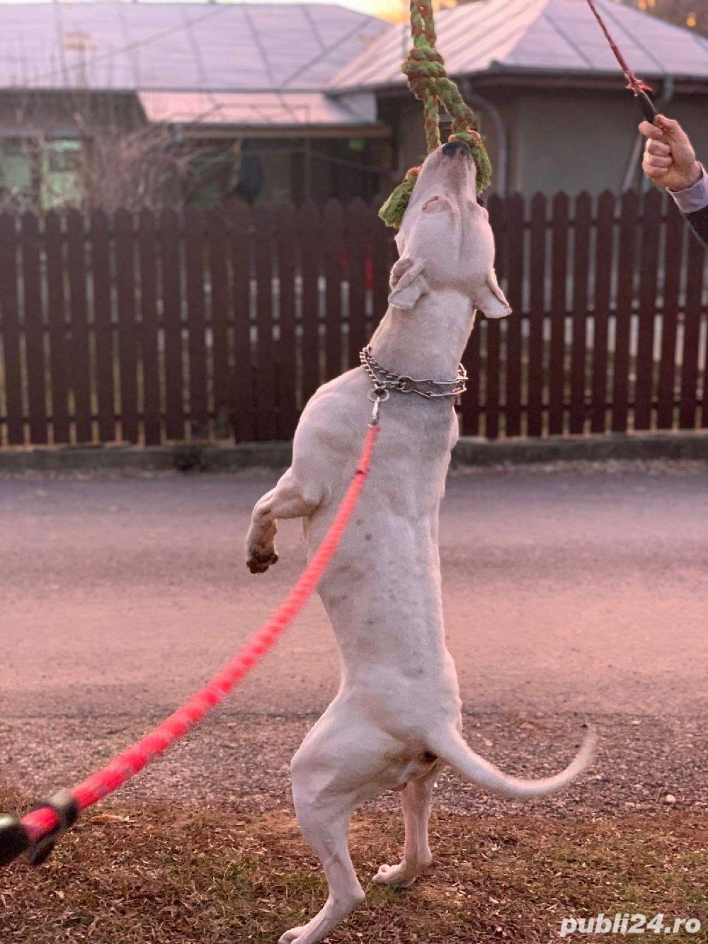 Monta Dog Argentinian