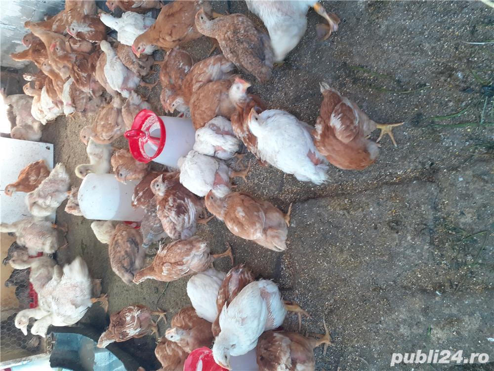 Pui ouă si carne
