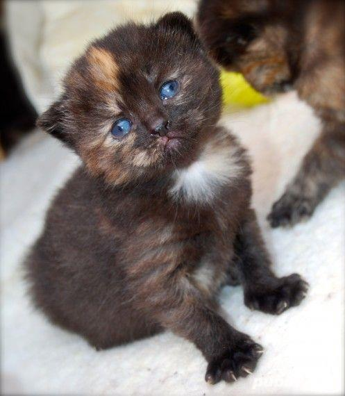 pisicute british chocolate tortie
