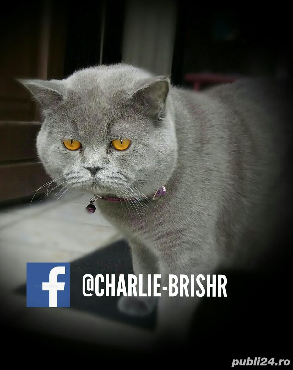 Motan British Shorthair Blue, din părinți cu pedigree, caut pisicuțe pt împerechere.