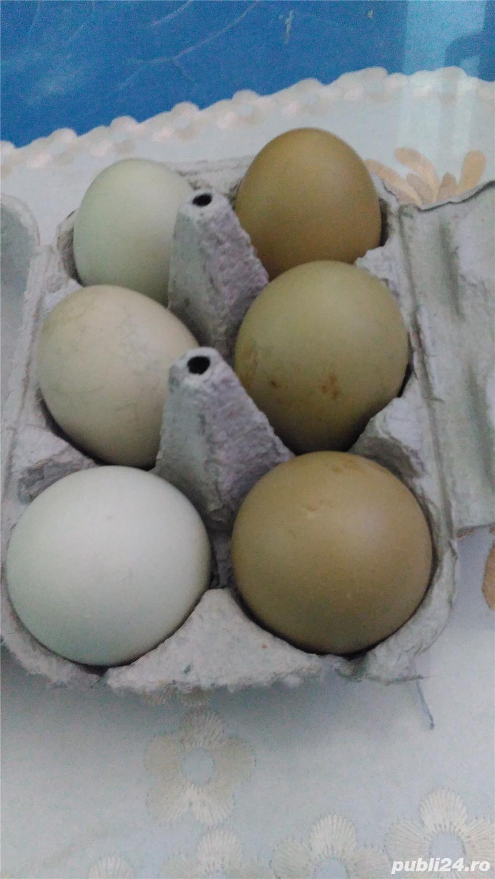 Vînd oua verzi de găină Araucana 1leu