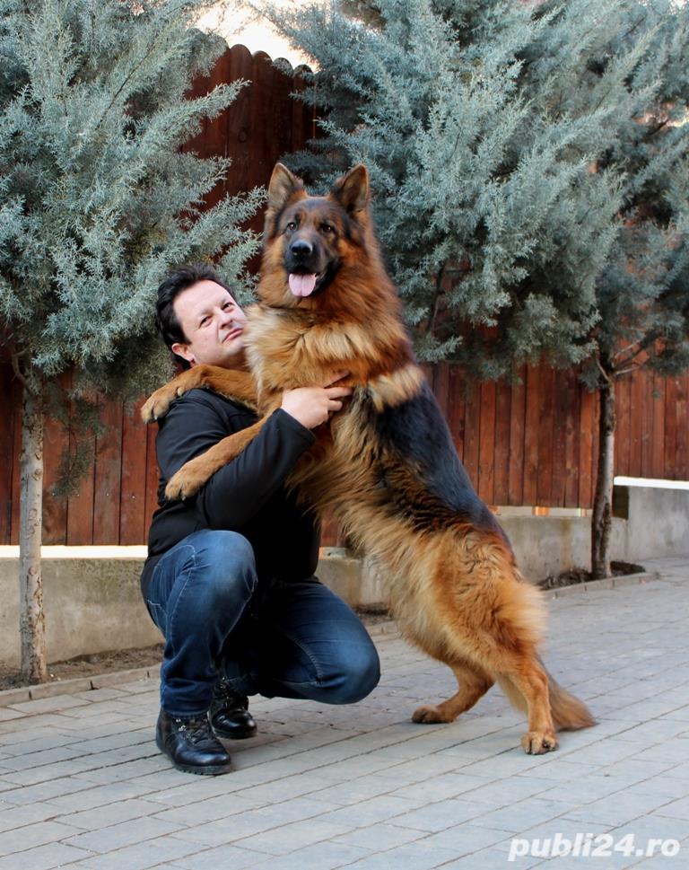 Vand pui ciobanesc german cu par lung, cu pedigree, in Cluj-Napoca, din parinti TOP Germania