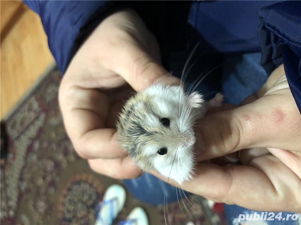 Vând hamsteri Roborovski