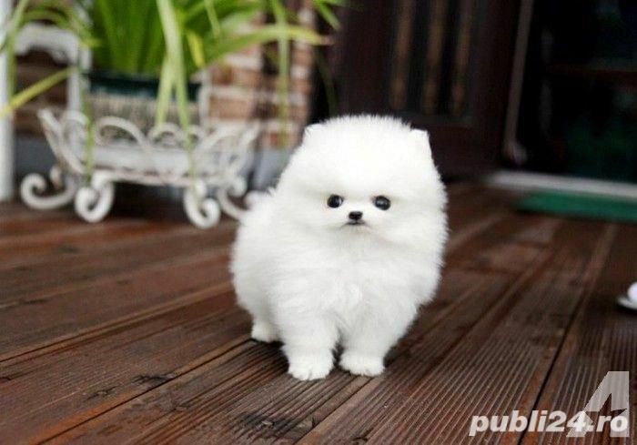 Pomeranian Extra Toy