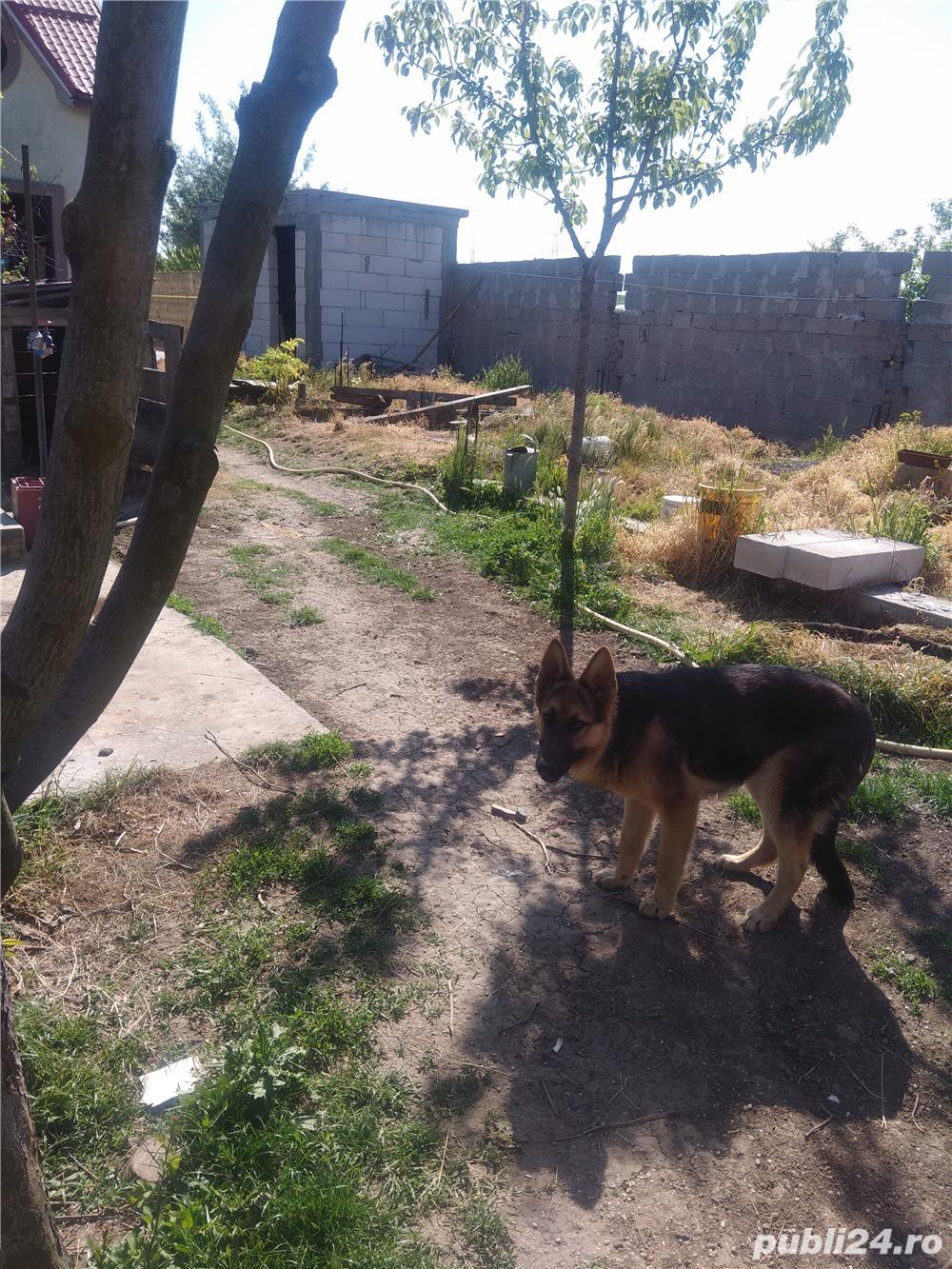Câine lup , 8 luni