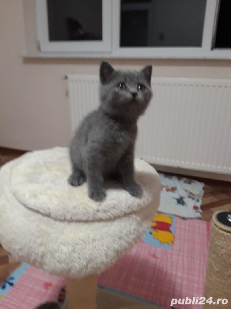 pui pisica albastru rusia!