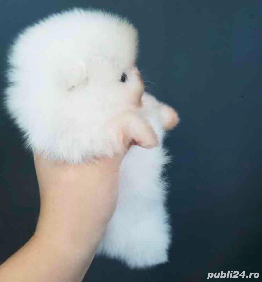 Pomeranian ZwergSpitz din parinti show class ! alb imaculat BabyDollFace -littlenose!