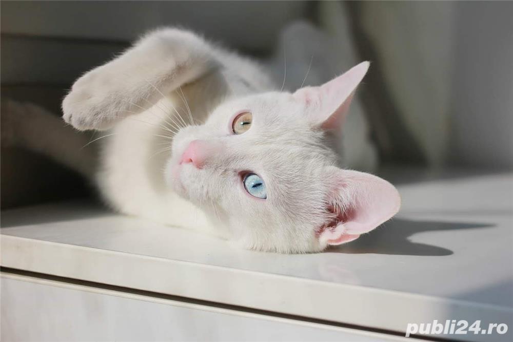Pisica albă rasă Khao Manee