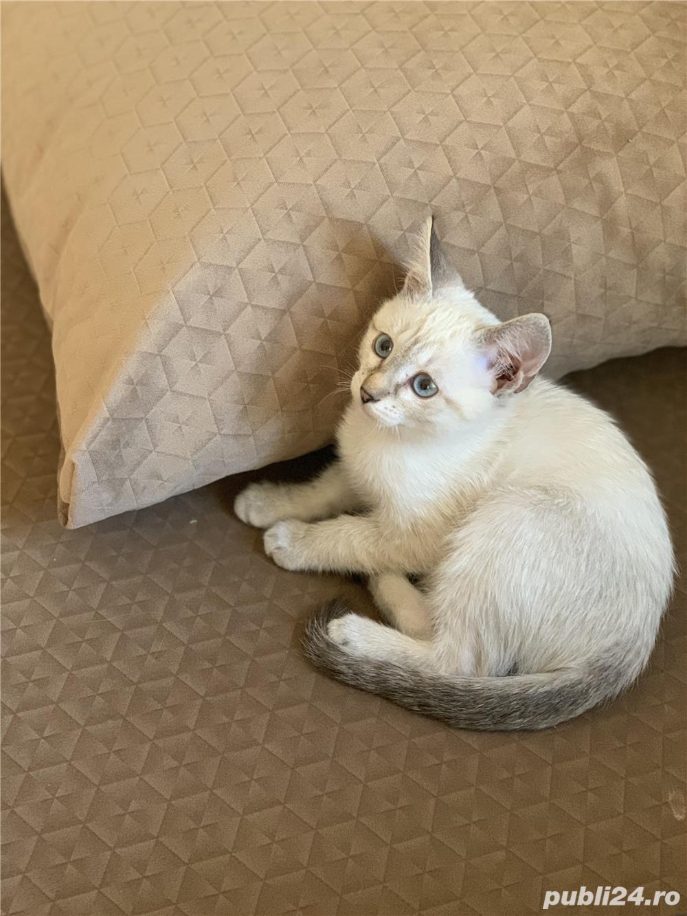 Vând pui de  pisica  siameza aurie