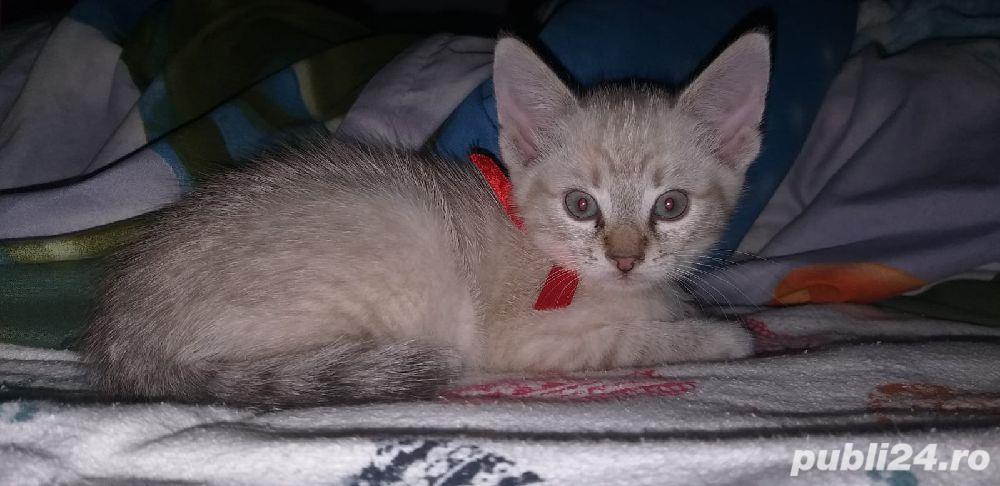 pui pisica Balineza links point!