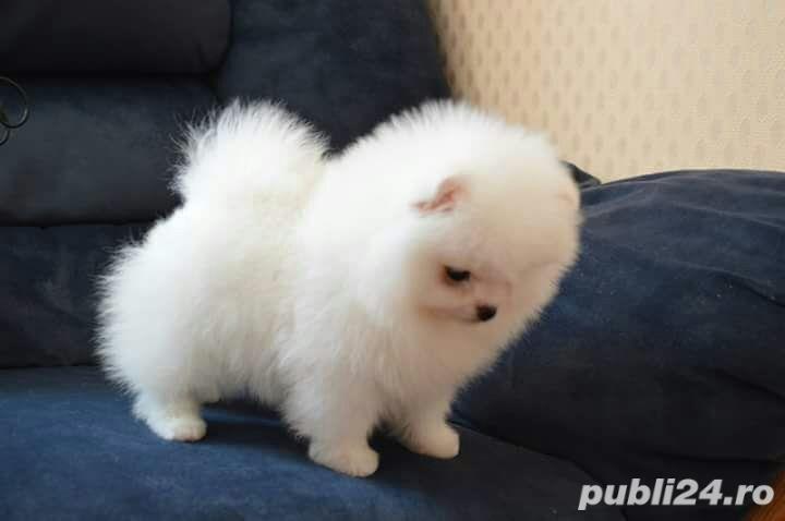 Pomeranian mini Toy. Mini Ursulet.