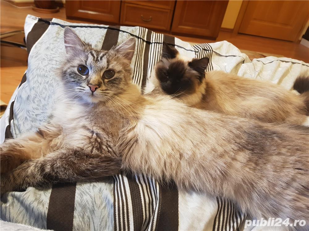 Vand doua pisici, una Siberiana (ragdoll, birmaneza) si una Siameza
