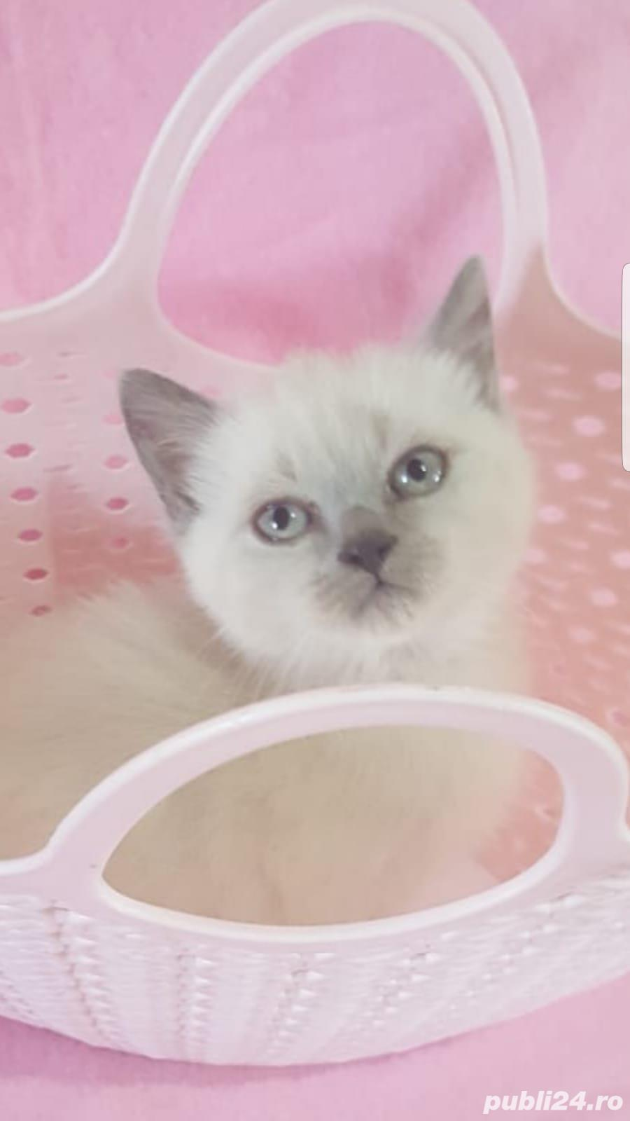 Vand british shorthair blue si color point