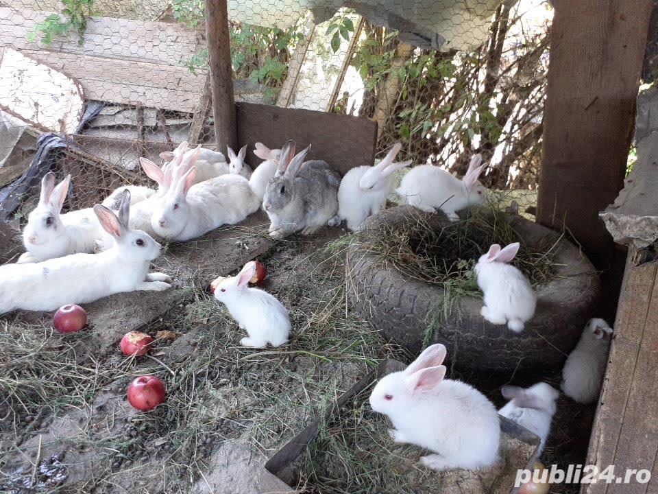 Vand iepuri mici