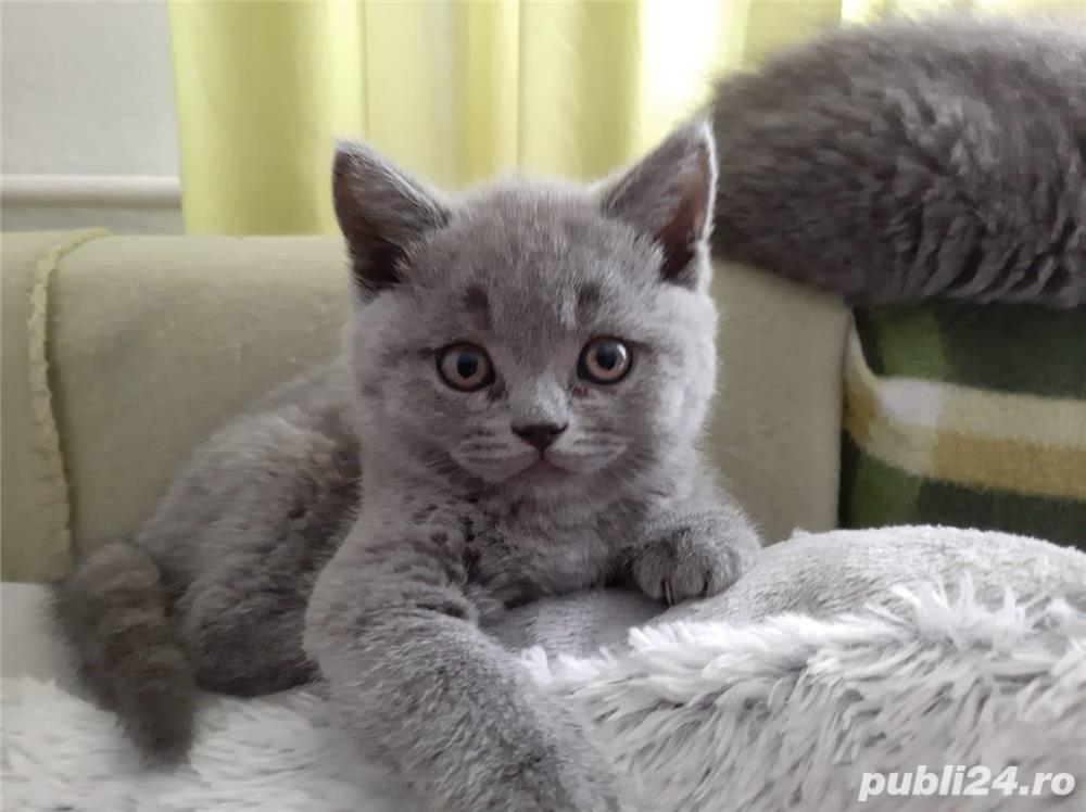 Pui de pisica british shorthair blue