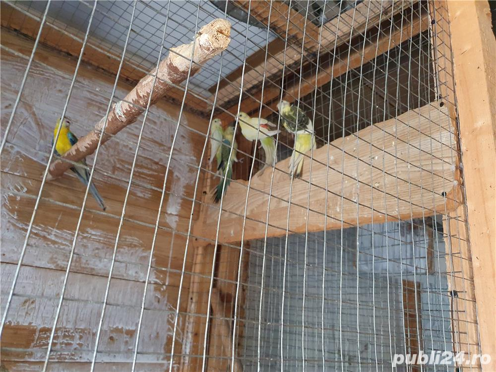 Vand papagali cantatori