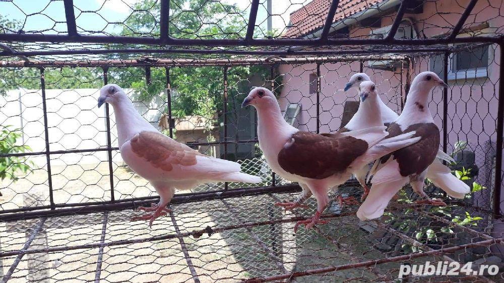 Porumbei voiajori listi