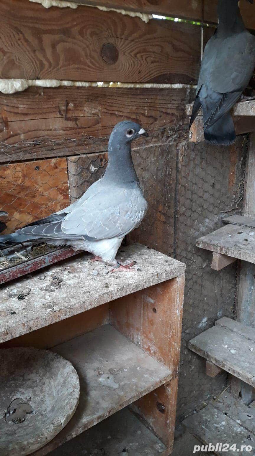 Porumbei voiajori albastri