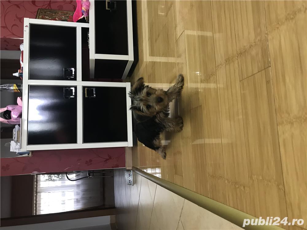 Vand Yorkshire Terrier