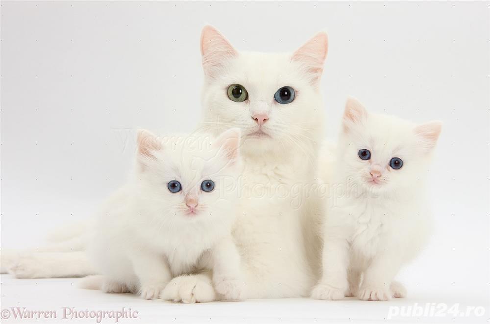 puisori british white cu ochii albastrii