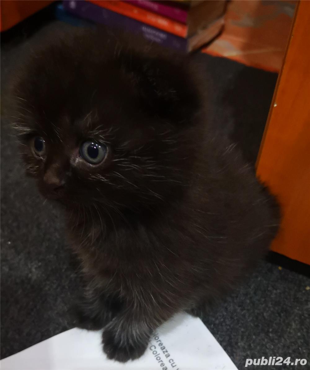Scottish tabby negru!!!