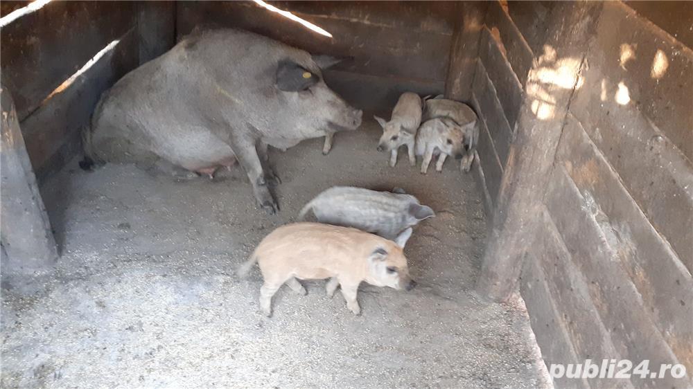 Porci Mangalița