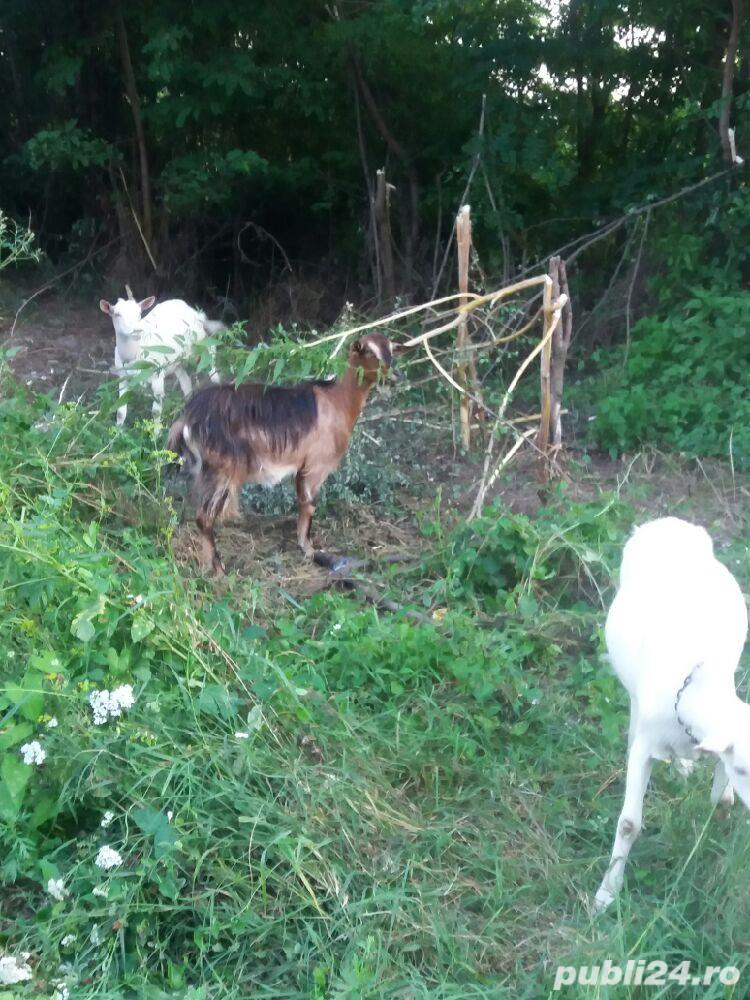 Vand 2 capre sannen si una metis alpin francez.