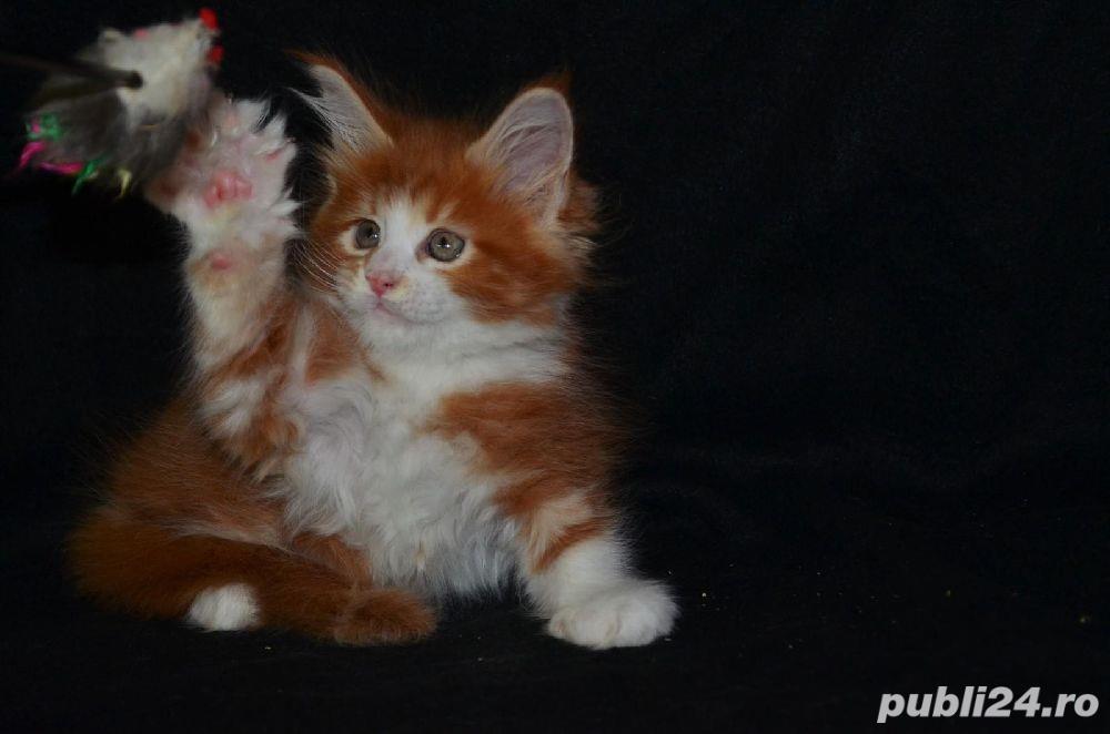 Vand pisici maine coon CU PEDIGREE  bucuresti iasi oradea cluj brasov