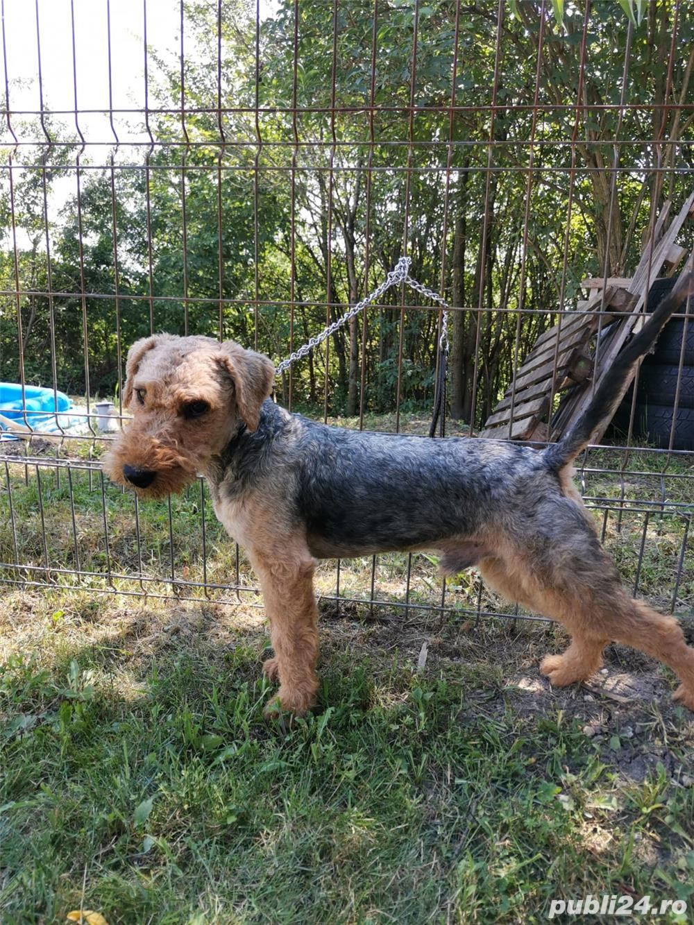 Vand mascul airedale terrier