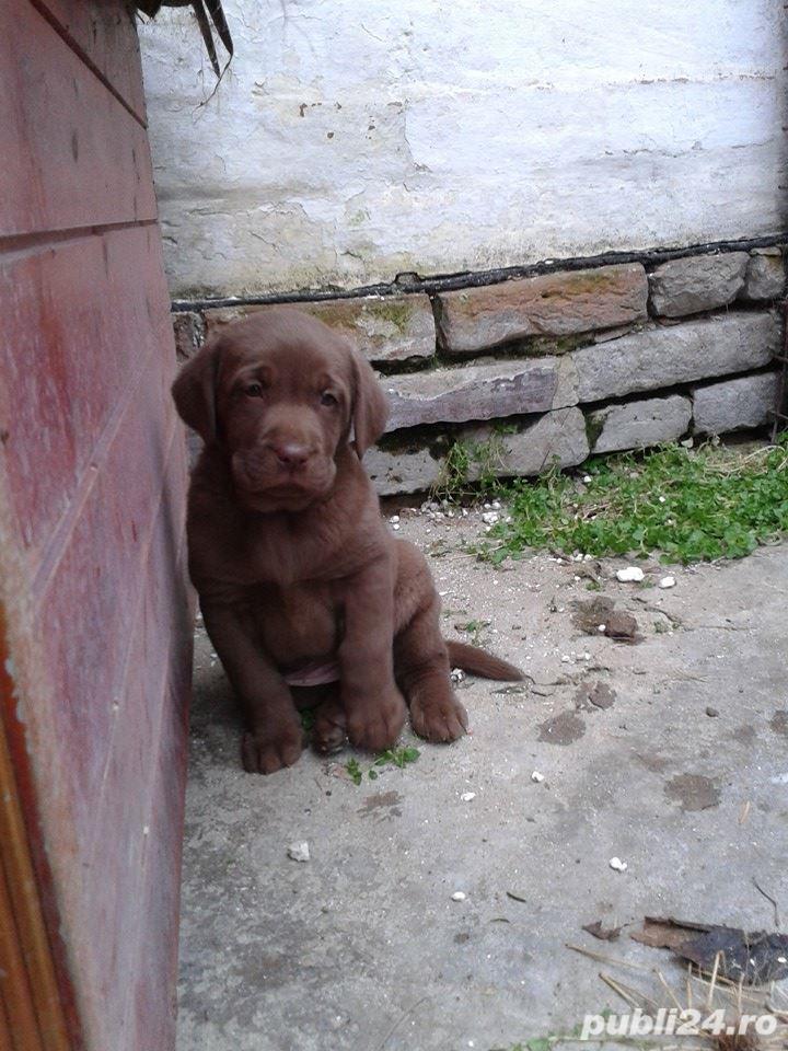 Pui labrador retriever/labrador retriver ciocolatiu
