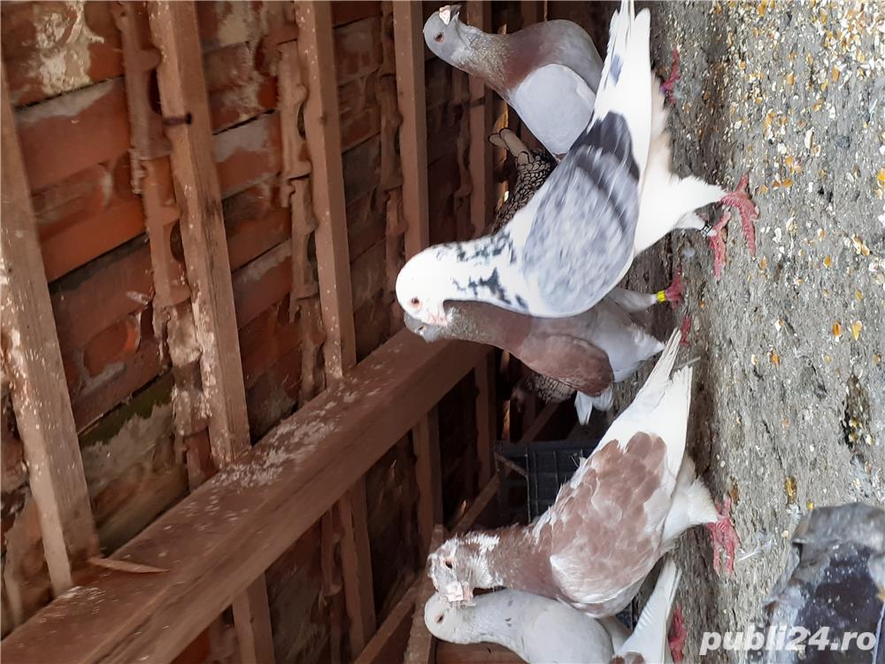 Vând sau schimb porumbei
