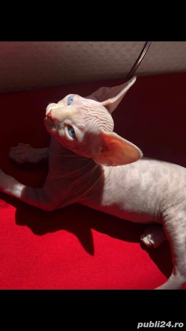 Pisica sphynx / sfinx