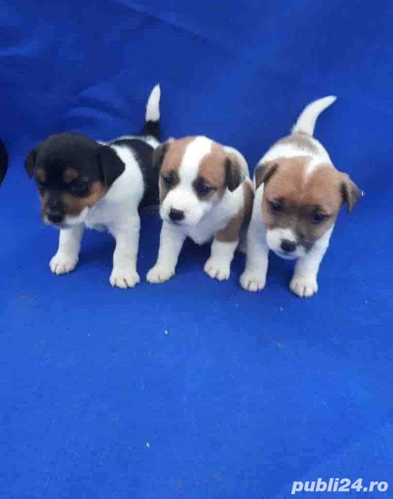 Catelusi jack russel terrier/rusel/russell