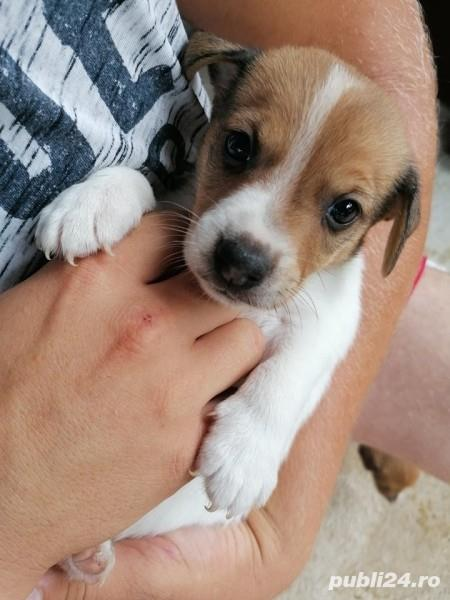 Vand jack russell russel
