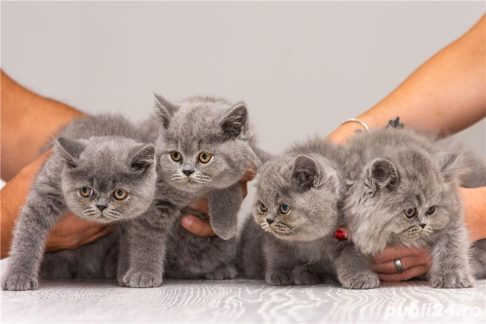 British Shorthair blue cu pedigree