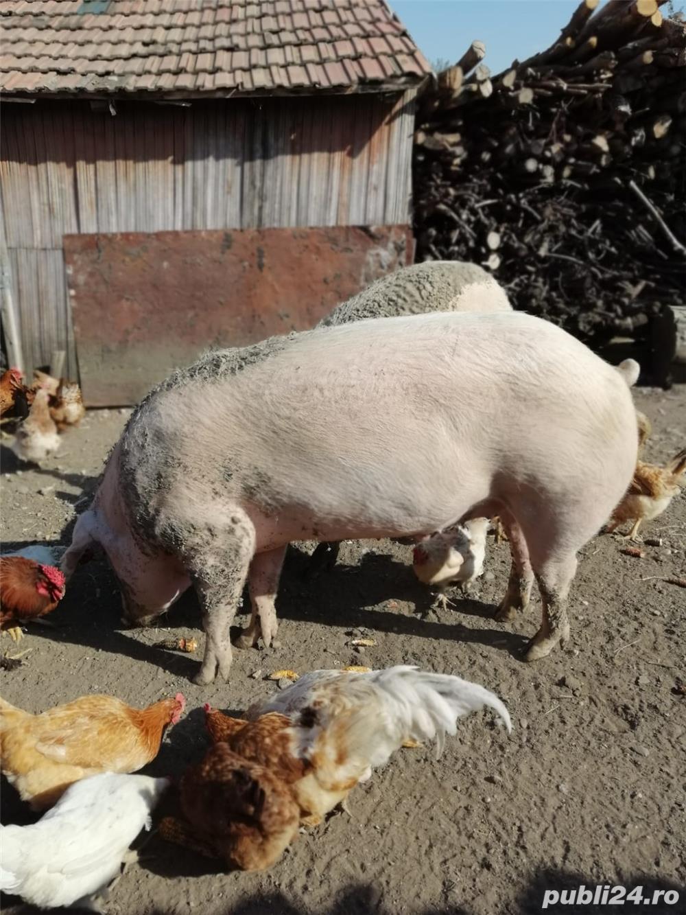 Vând porc rasa Marele Alb  300 kg